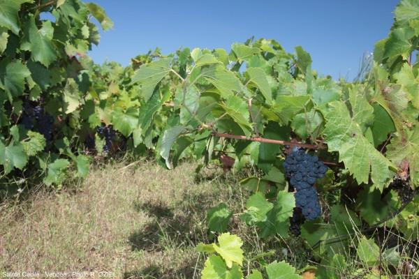 Vignes de Sainte Cécile